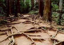 Roots on the path near the top of Mt. Kurama